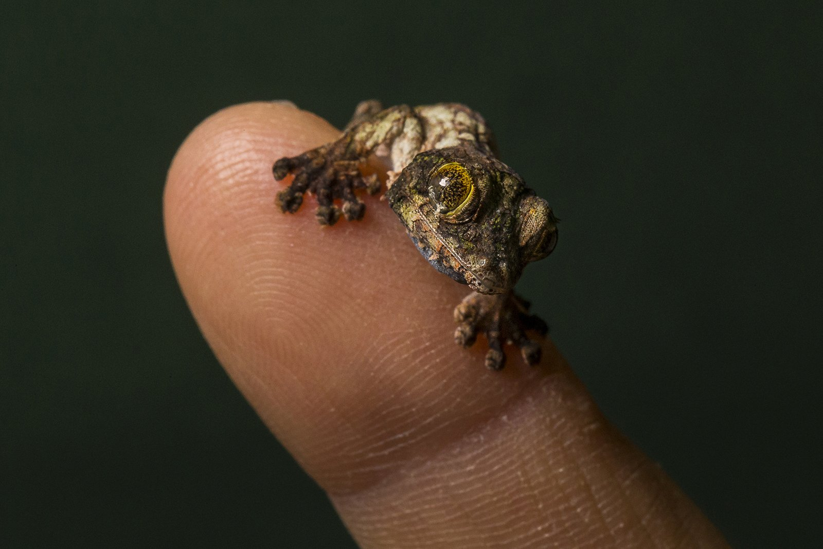 For the reptile lovers: A tiny mossy leaf-tailed gecko. 💚 #CuteAnimalTweetOff https://t.co/ZX5DN1iNG8