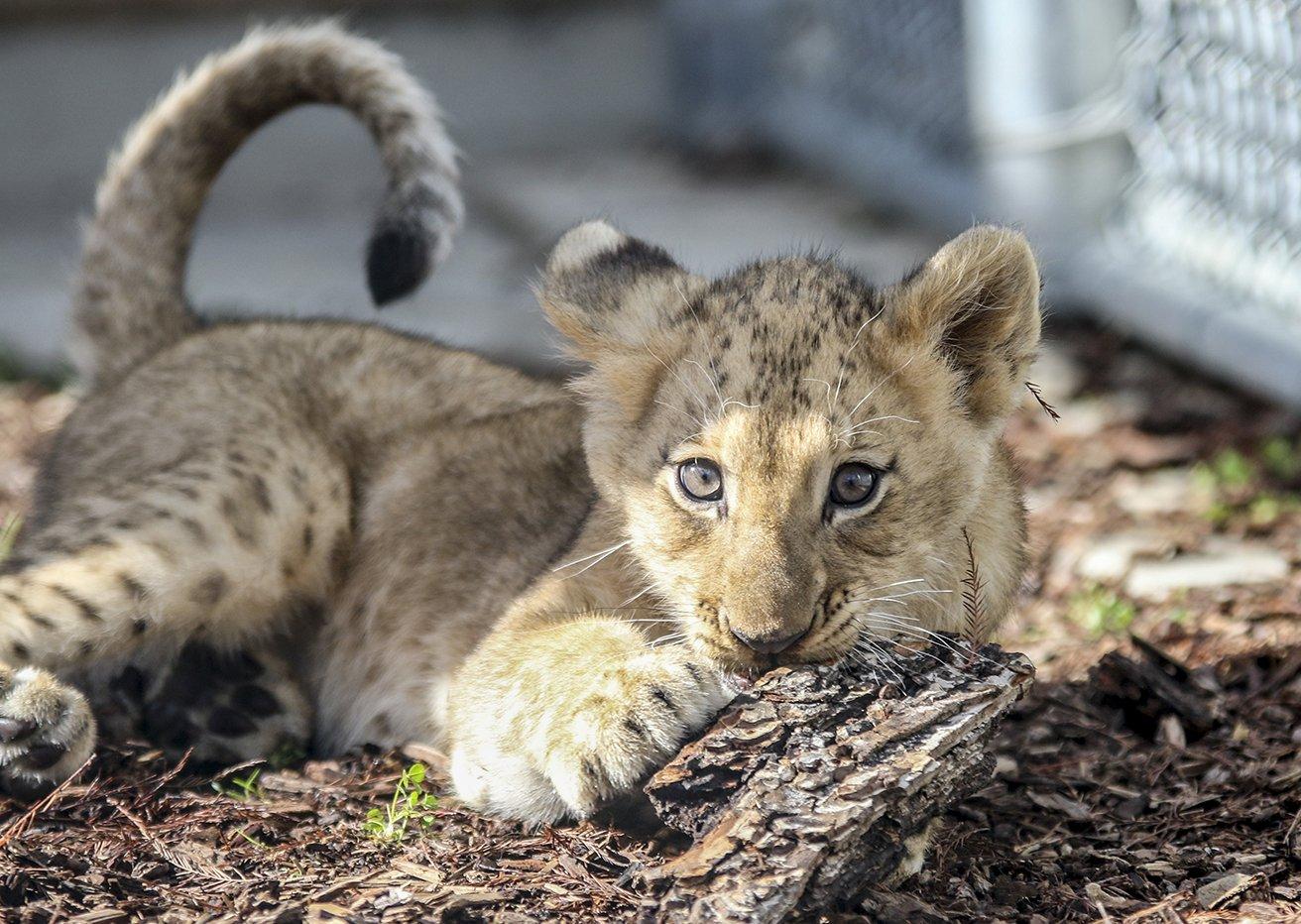 We see your #CuteAnimalTweetOff and raise you a #LionCub! https://t.co/lJizi4TNwA