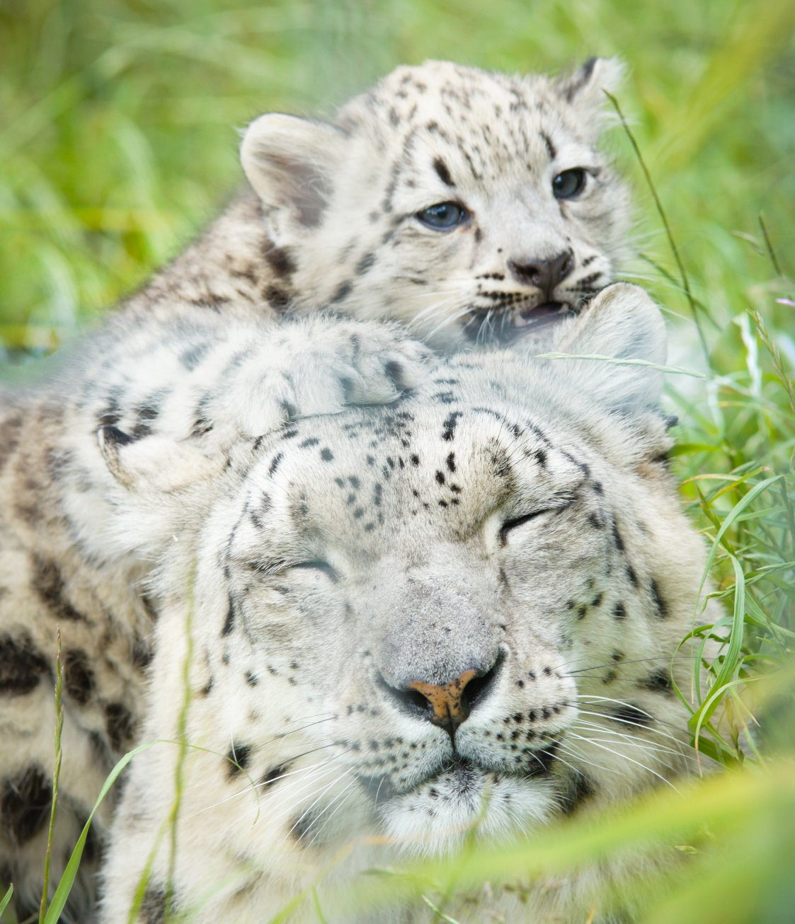 #cuteanimaltweetoff This is when one of our Snow Leopard cubs was still a cub! @KnowsleySafari @BristolZooGdns @BlackpoolZoo https://t.co/yf6kz5gJ2a