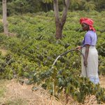 On the Slopes of Kilimanjaro, a Shift in Climate Hits Coffee Harvest