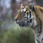 Tourist Mauled By Tigers After Climbing Into Zoo Enclosure In China