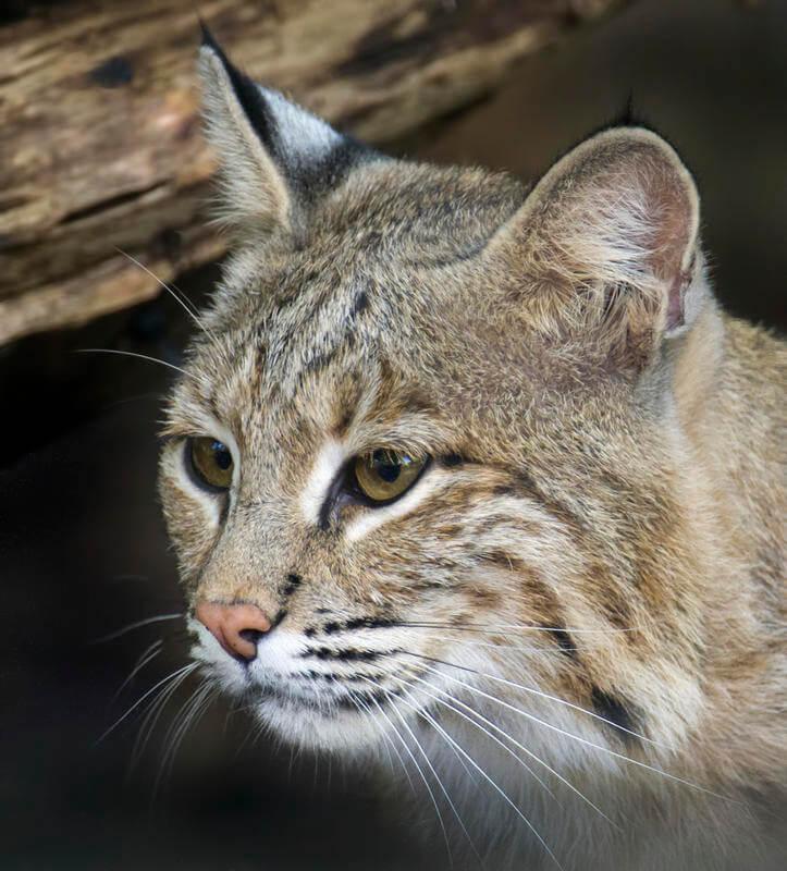 Some DC schools cancel recess over escaped bobcat