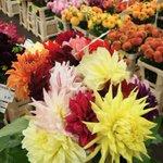 Brexit hits Dutch flower exports, chrysanthemum sales plunge