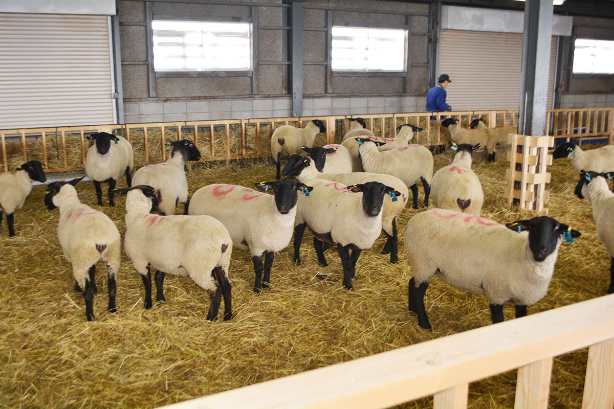 (´-`).。oO(牧場に先日来た、オーストラリア生まれの雌羊20頭です。 #松尾めん羊牧場 にはニュージーランドから来