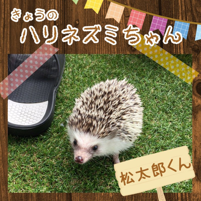 「きょうのハリネズミちゃん」更新です!今日は松太郎くん(◍ ´꒳` ◍)今日も一日頑張っていきましょー⁽⁽ ◟(∗ ˊω