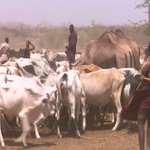 Karamoja forced to share scarce water with Turkana herdsmen and their cattle