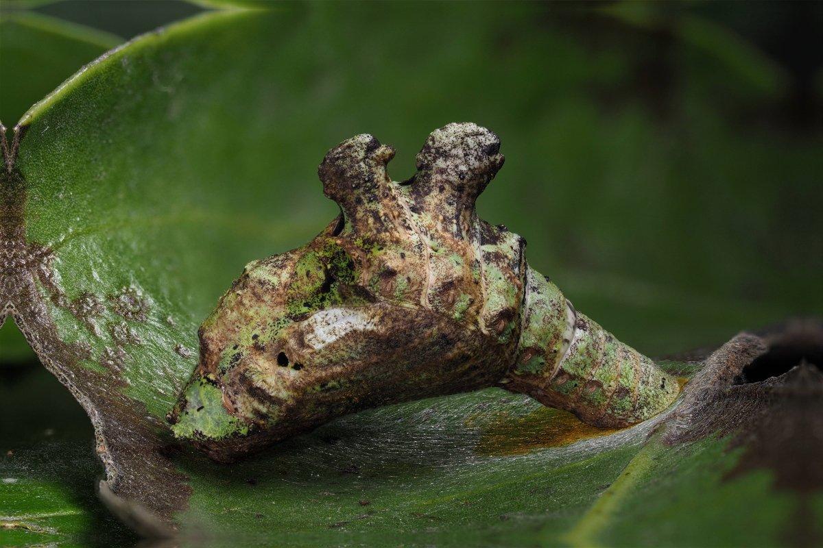 アオトラスソビキシジミ(Jacoona anasuja anasuja)蛹(Pupa)になりました。 深度合成。3-F