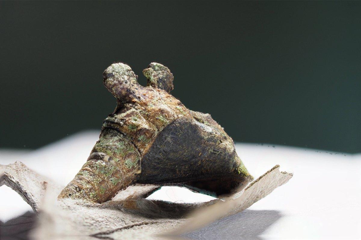アオトラスソビキシジミ(Jacoona anasuja anasuja)蛹(Pupa)羽化の前日で羽が透けて見えます。