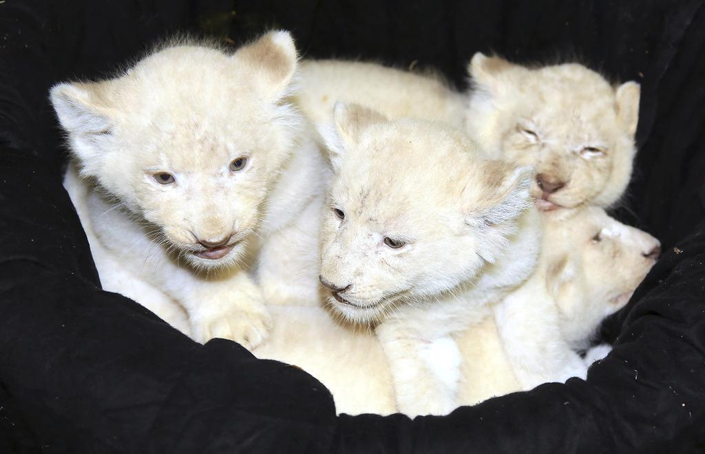 Updated: Rare white lion cubs on the prowl at German zoo