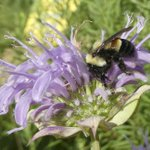 Trump administration delays listing bumblebee as endangered