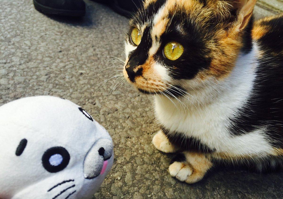 草津の野良猫だよ!ゴマちゃん!最初は何度か猫パンチを当ててきたけど、すぐ仲良くなったよ!(≡・ω・≡)#ゴマちゃん#草