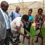 Kawanda to use farmer platforms to fight bacterial wilt disease
