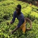 Buhweju tea growers stuck with surplus crop after local factory reaches processing limit