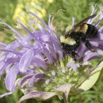 Group sues feds for delaying bumblebee's endangered listing