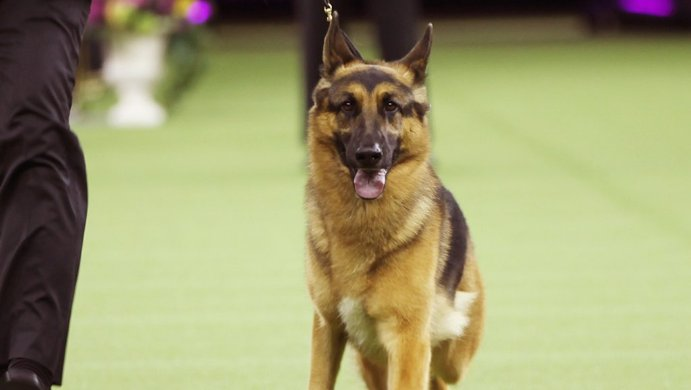 German shepherd wins best in show at 141st Westminster Kennel Club dog show