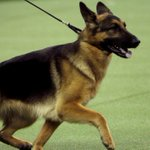 German shepherd takes top prize at dog show