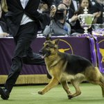 PHOTO GALLERY: German Shepherd Wins Best in Show Prize at Westminster