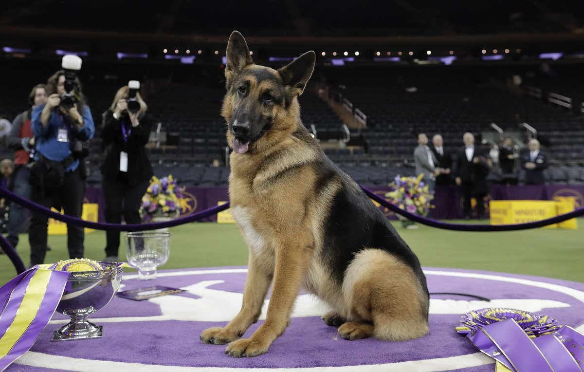 German shepherd from Wisconsin wins best in show at Westminster
