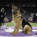German shepherd from Wisconsin wins best in show at Westminster