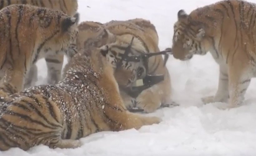 Video 🎥 | Una manada de tigres siberianos destroza un drone que los estaba filmando (Vía @LaTerceraTV)  https://t.co/FwTHxnnFhg