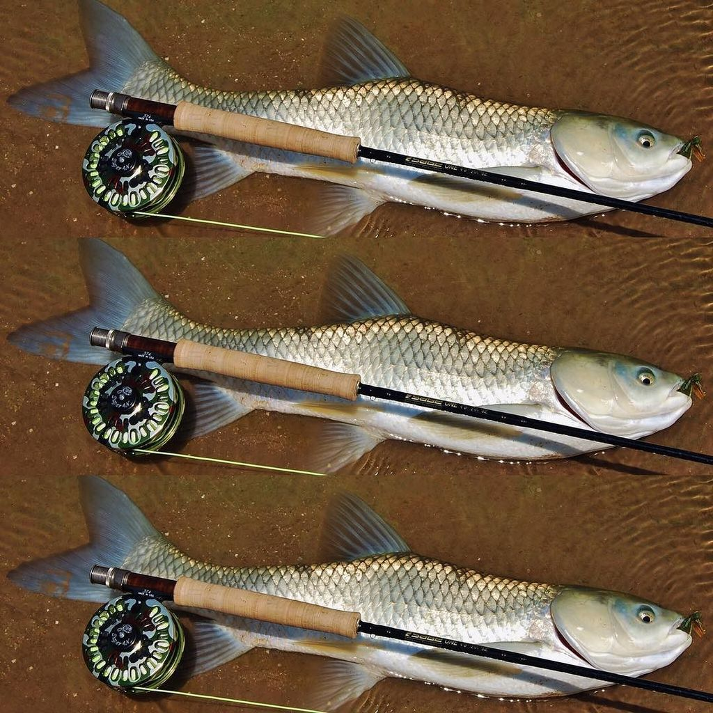 Arizona <b>Grass Carp</b>! _____________________  #flyfishing #carp #carpfishing #dryfly #sightfishi