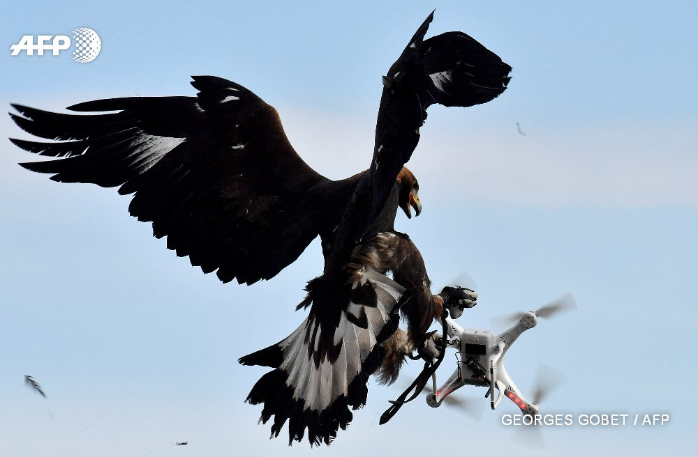 Born killers French army grooms eagles to down drones