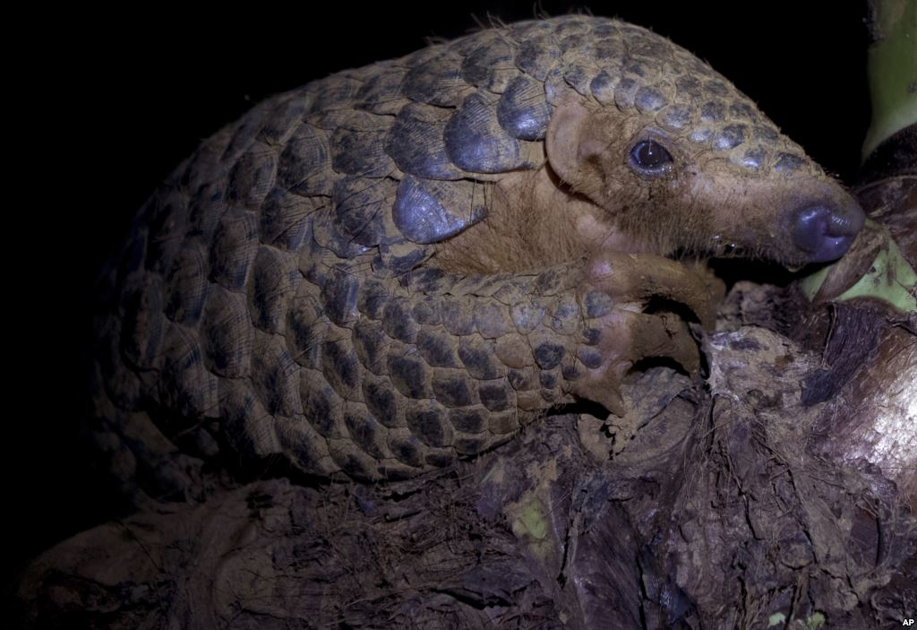Cameroon Burns 3 Tons of Pangolins Seized From Smugglers