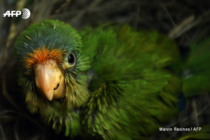 Free as a bird: 2 species of orange parakeet are raised at El Tronador, a rescue centre for trafficked animals in El Salvador @marvinrecinos