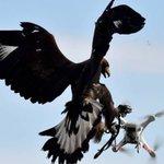 Militares franceses treinam águias para interceptar drones em pleno voo