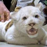 Impftag im Zoo|Kleiner Pieks für<br />weiße Löwchen