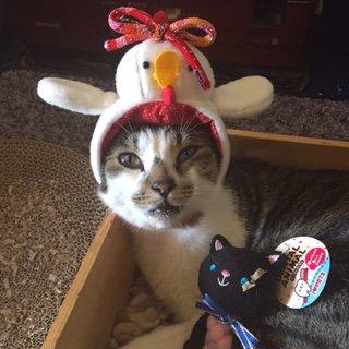 【おうちごはんcafeたまゆらん 猫店員紹介】名前:ヅラヅラ 影光と同じ滋賀県で保護され、本当のお家を見つけるためにお店