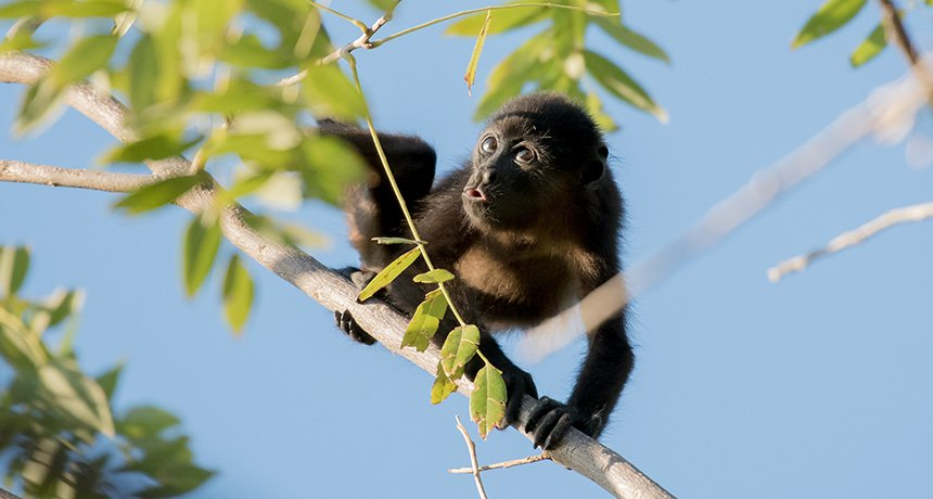 Howler monkeys may owe their color vision to leaf hue        By  ... https://t.co/o6IeISmRcp. #BasicScience https://t.co/UtR6VICSLo