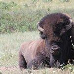 Progress made on reducing Yellowstone bison herd