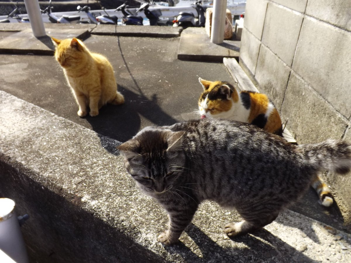 今月頭のゆゆゆイベント+聖地巡礼で観音寺市へ行った時に、足を伸ばした伊吹島で歓迎してくれた猫たち。猫好きな勇者部員は時間