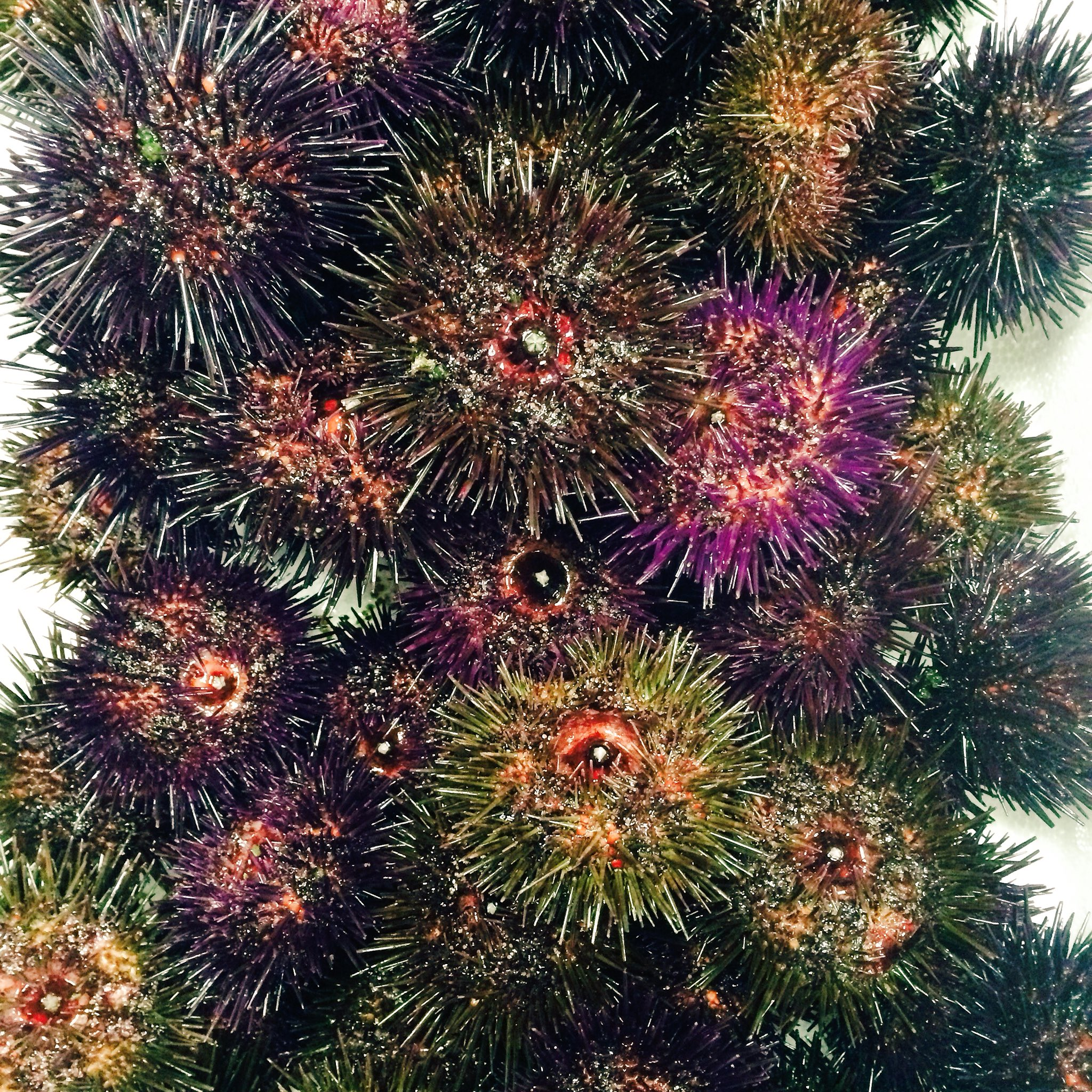 Connemara Urchin ! Thanks to @Mungo_Seaweed #irishfood #WildAtlanticWay #product #Galway https://t.co/p6S9HWtFjb