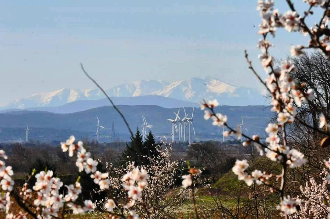 🌸 Sur les bords du Canal du Midi les amandiers fleurissent et se préparent à l'arrivée du printemps, avec en fond le Canigó ! 🌸 Photo : V.C