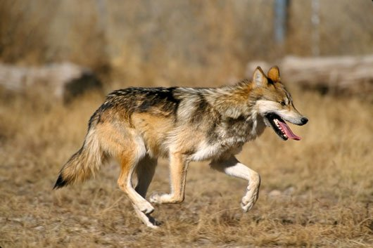 Mexican Gray Wolves' Numbers Improve, But Challenges Persist https://t.co/qHsNxMBaXa https://t.co/YW3reTn8eb