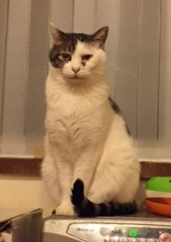 【おうちごはんcafeたまゆらん 猫店員紹介】名前:豆カン キジ白大柄な男の子。超絶怖がりでお店には降りてこない幻店員猫