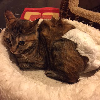 【おうちごはんcafeたまゆらん 猫店員紹介】名前:福ちゃん 麦わら柄のコロコロ女子。事故にあった保護っ子。後遺症で排泄