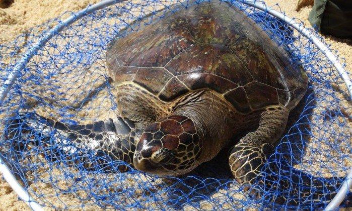 Tartarugas raras mantidas em cativeiro são devolvidas ao mar. https://t.co/BdFerQVd7D