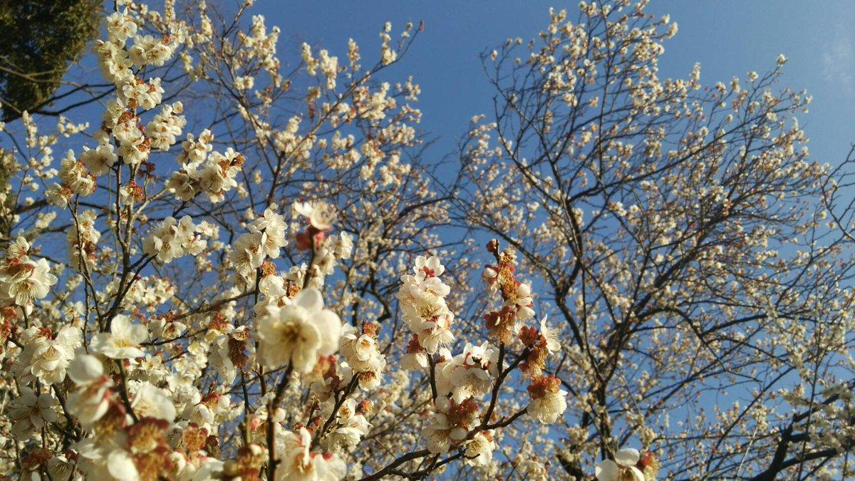 ヤマノススメでもおなじみの飯能中央公園で、梅の花が満開だまあ♪ いい香り~💛 天覧山のふもと、中央公園を通るルートはこち