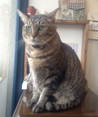 【おうちごはんcafeたまゆらん 卒業猫店員紹介】名前:シエル きじ虎の優しく穏やかでもん静かなシエル。男の子。次男坊だ
