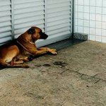 Cão reencontra o dono após fazer vigília na porta do hospital - São Paulo - Estadão