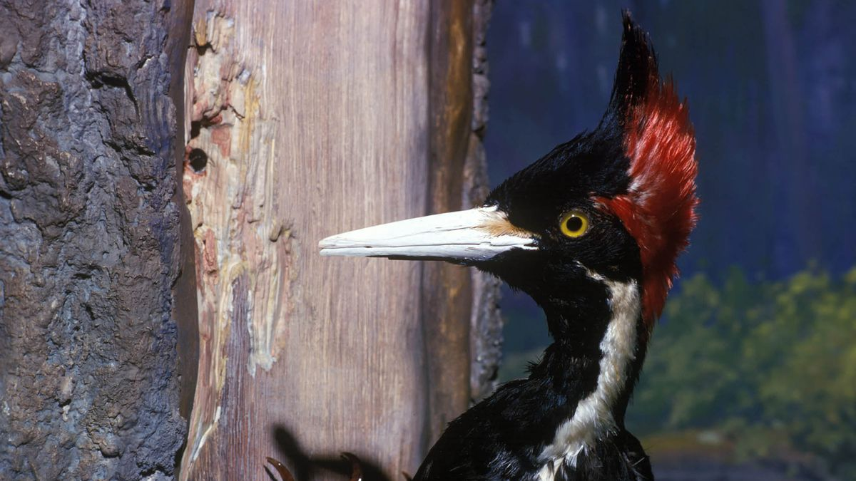 Last Remaining Ivory-Billed Woodpecker Really Squandering Species' Final Weeks