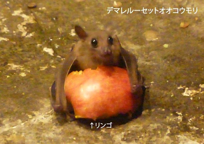 よく来園者の方から「コウモリが地面に落ちているが大丈夫か?」との問合せをいただきます。敵のいない動物園では、地面に降りて、落ちている餌を食べることもあるのです。ほら、こんな感じでひとりじめしていることも… (この状態からでも飛びたてるので、心配いりません。)