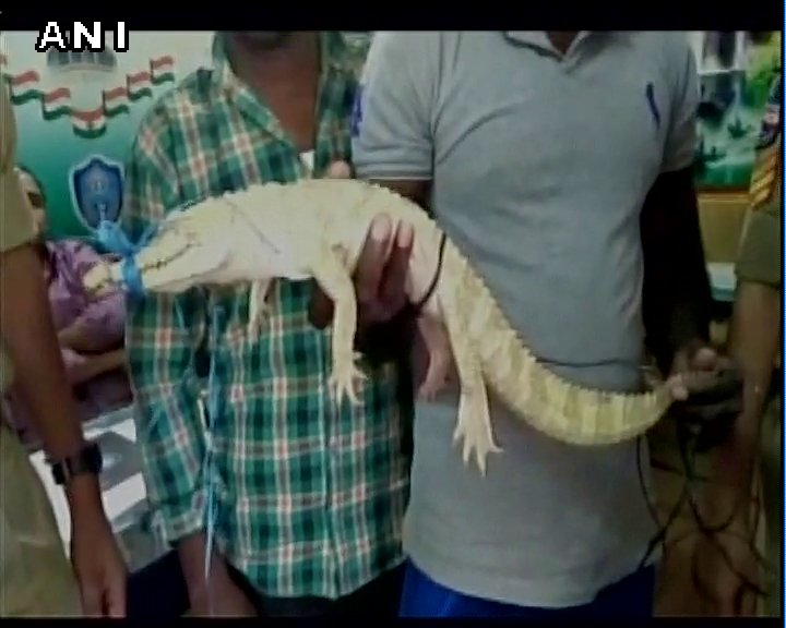 Hyderabad: Baby crocodile rescued from Azampura drainage line by locals, handed over to zoo officials.
