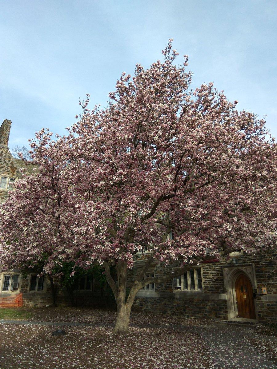 RT @romvoi: Gorgeous magnolia trees blooming on @DukeU #DukeUniversity campus earlier this week https://t.co/VXP3UPIZfd