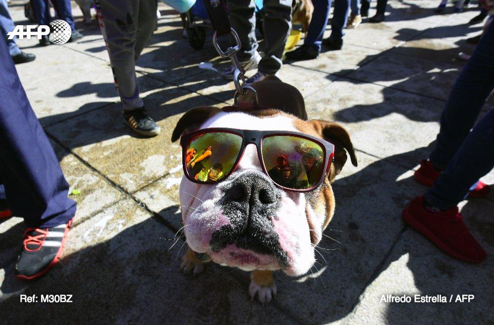 📷: des centaines de bulldogs dans les rues de Mexico https://t.co/zVpgEI4GBl #AFP