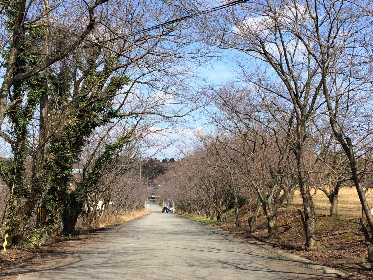 今日の山室の桜並木、良いお天気です。【金津新話。ニシタ】本日2月27日(月)も19:00まで営業致します。宜しければ当店
