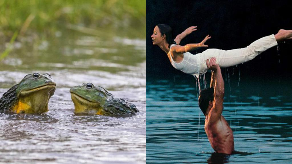 Two bullfrogs recreate the iconic Dirty Dancing lift to prove no frog should be put in the corner